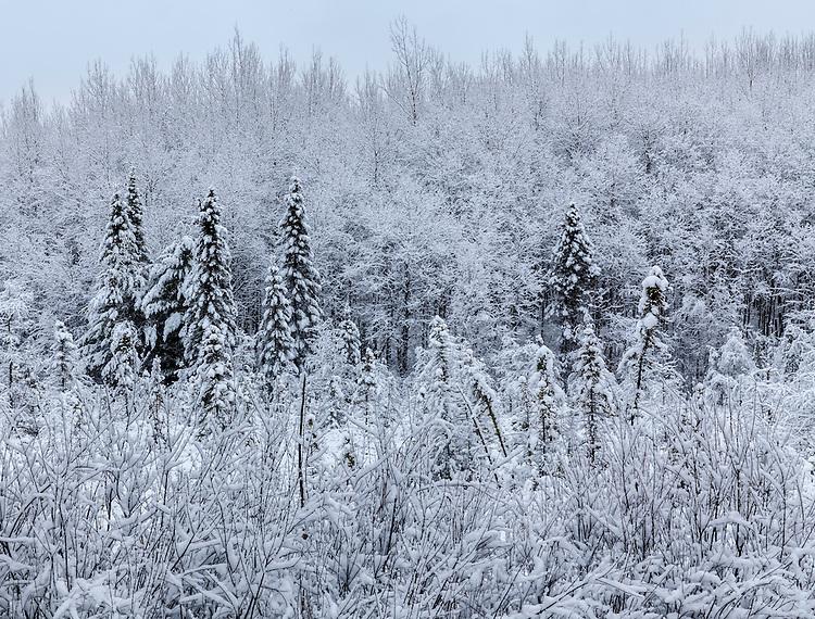 Winter scene in a bog; American Legion State Forest, WI