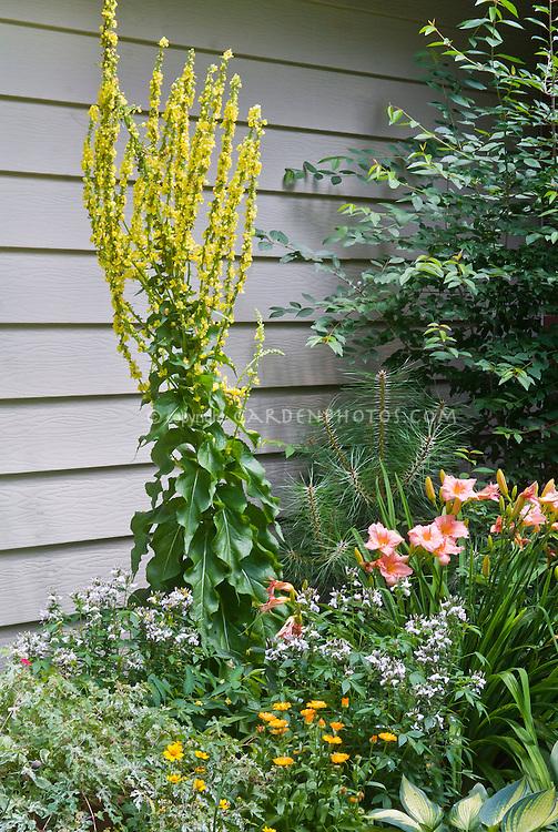 Verbascum Christo's Yellow Lightning (named for Christopher Lloyd), Hemerocallis Little Heavenly Angel (pink), Ampelopsis variegated vine, Cleome Senorita Blanco, Coreopsis