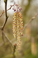Grey or speckled alder (Alnus incana) catkins emerge in early spring.