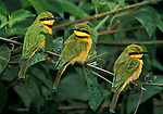 Little Bee-eater (Merops pusillus) three sitting on branch, green and yellow feathers, West Africa.