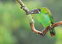 Crimson-rumped toucanet, Aulacorhynchus haematopygus, in light rain. Tandayapa Valley, Ecuador