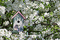 01715-03001 Bird nestbox in blooming Sugartyme Crabapple Tree (Malus sp.) Marion Co., IL