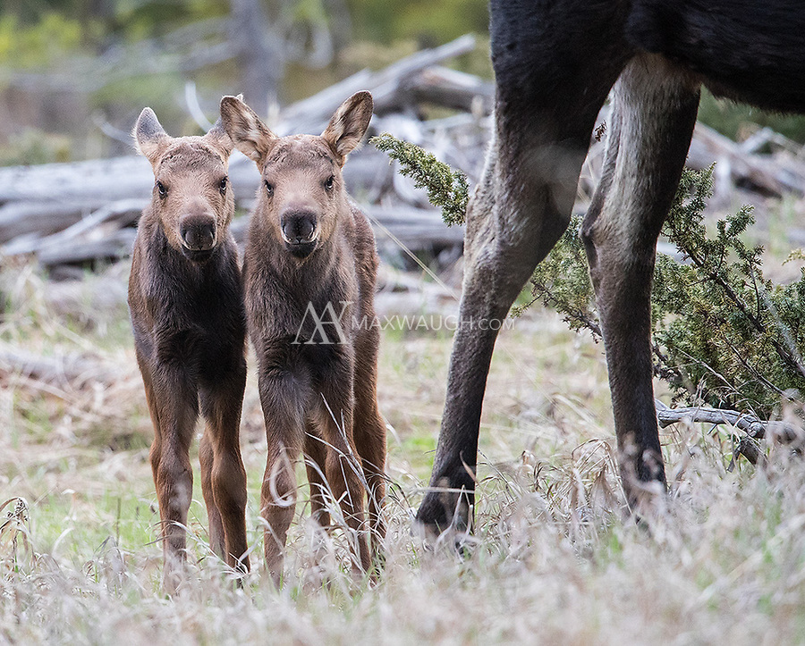There were a few different new moose families that emerged in the northeast corner of the park this spring.