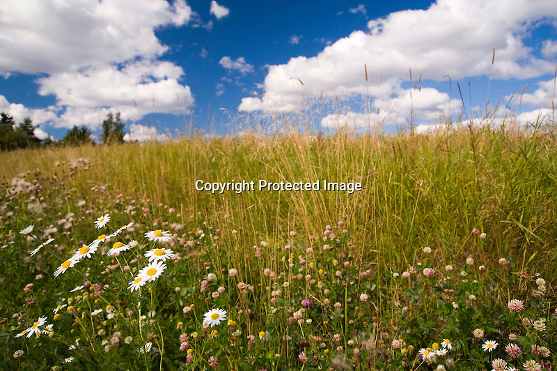 Daisies and Clover in Meadow on a Sunny Day in Rural Finland