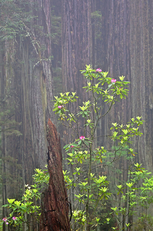 Rhododendrons among the redwood forest in Del Norte State Park, Redwood National Park, California