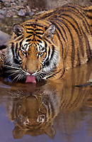 683999327 an adult bengal tiger panthera tigris drinks from a small pond at a wildlife rescue facility - species is native to india