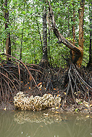 Old coral reef underneat mangrove roots, Mentawai Islands, Indonesia