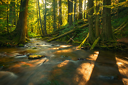 The trees in this old growth forest in the Columbia Gorge shatter the early morning light onto a picturesque creek. The haze from distant wildfires made the light especially diffuse this particular morning.