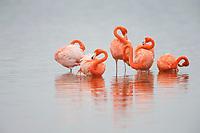 American Flamingos (Phoenicopterus ruber) preening. Celestun Biosphere Reserve, Mexico. February.