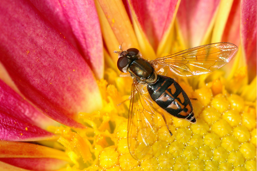 Hover Flies vary from tiny, often black and shiny flies to large flies that have a remarkable resemblance to bees or wasps.