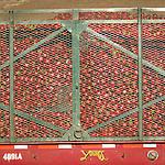 Hopper trailer of red bell pepper harvest, Salinas Valley, Calif.