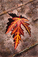 An autumn-red-and-orange maple leaf casts a shadow at it lies in stark contrast on a pathway stone.