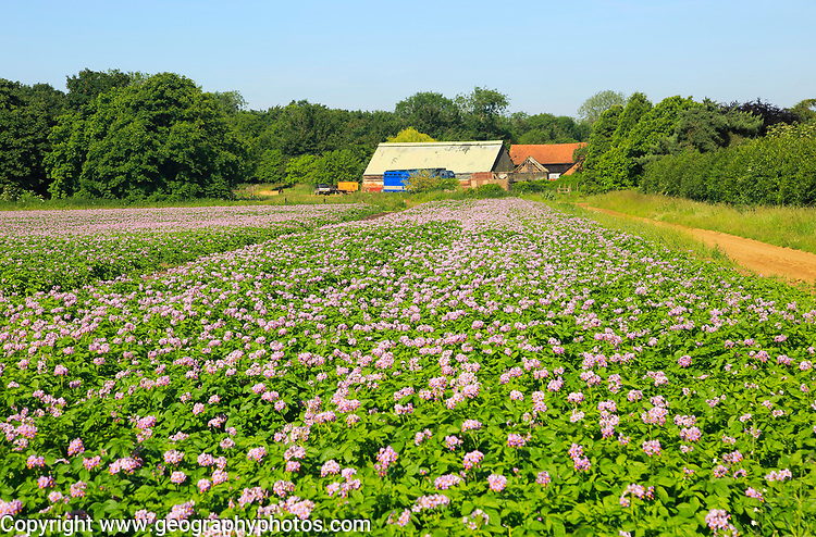 Purple pink flowers potato crop in field, Sutton, Suffolk, England, UK