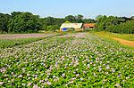 Purple pink flowers potato crop in field, Sutton, Suffolk, England, UK