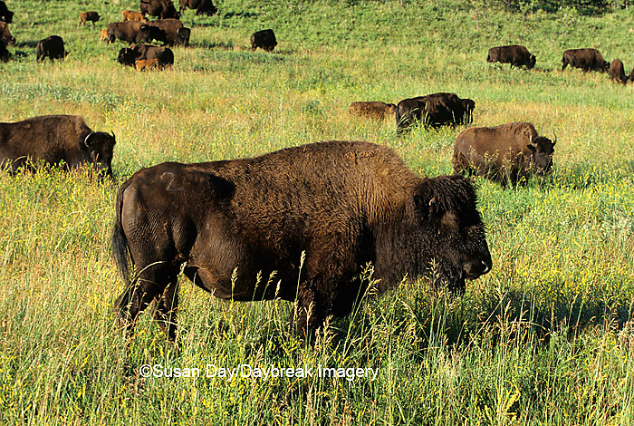01985-020.11  Bison (Bison bison) herd at Custer State Park  SD