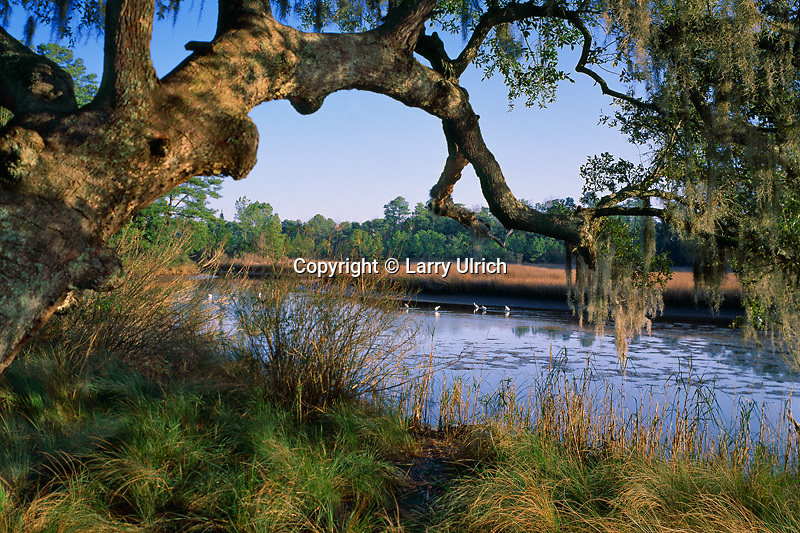 Live oak and snowy egrets<br />