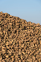 Sugar beet in a heap <br /> &copy;Tim Scrivener Photographer 07850 303986<br />      ....Covering Agriculture In The UK....