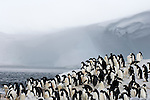 Penguins crowd the ice edge at Cape Crozier and look for any sign of Leopard Seal predators, Antarctica.