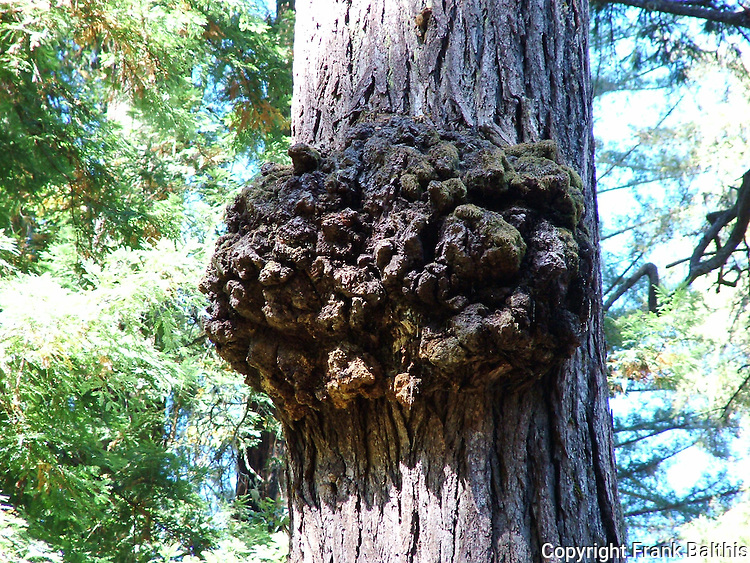 redwood burl in Big Basin State Park