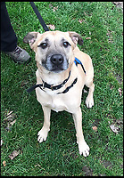 BNPS.co.uk (01202 558833)<br /> Pic:  RSPCA/BNPS<br /> <br /> Brucie the Staffordshire bull terrier as he is now, a much healthier weight.<br /> <br /> A pet owner has been found guilty of causing 'unnecessary suffering' to his two dogs after allowing them to become obese.<br /> <br /> Staffordshire bull terriers Brucie and Lucy were so overweight they were 'barrel shaped' and buckled under their sheer size.<br /> <br /> Brucie's weight ballooned from a healthy 21kg to 33.5kg (over 5st, 74lbs) after owner Martin Harrison, 58, over-fed him over a three and a half year period.<br /> <br /> Lucy's weight shot up to 29kg (4.6st, 64lbs), classifying her as 'overweight', and she had a chronic ear condition which was not treated, a court heard.