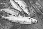 Salmon and grilse lying in the bottom of a coble (boat) having been emptied from 'jumper' nets by salmon netters at Kinnaber, Angus.<br /> Ref. Catching the Tide 47/00/04a (1st August 2000)<br /> <br /> The once-thriving Scottish salmon netting industry fell into decline in the 1970s and 1980s when the numbers of fish caught reduced due to environmental and economic reasons. In 2016, a three-year ban was imposed by the Scottish Government on the advice of scientists to try to boost dwindling stocks which anglers and conservationists blamed on netsmen.