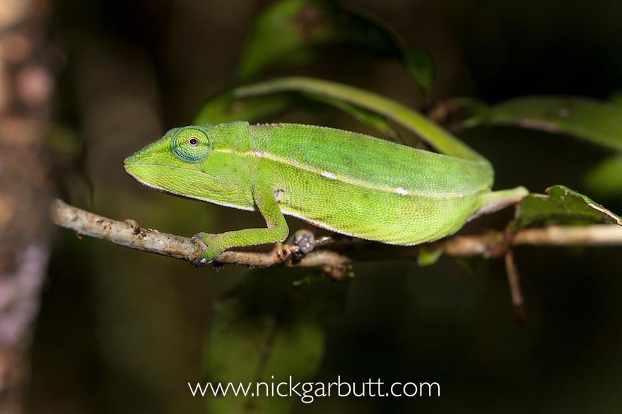 Short-nosed Chameleon (Calumma gastrotaenia) in montane rainforest. Ranomafana National Park, Madagascar.