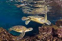green sea turtles, Chelonia mydas, pair, foraging for limu or algae, Place of Refuge, Honaunau, Big Island, Hawaii, USA, Pacific Ocean