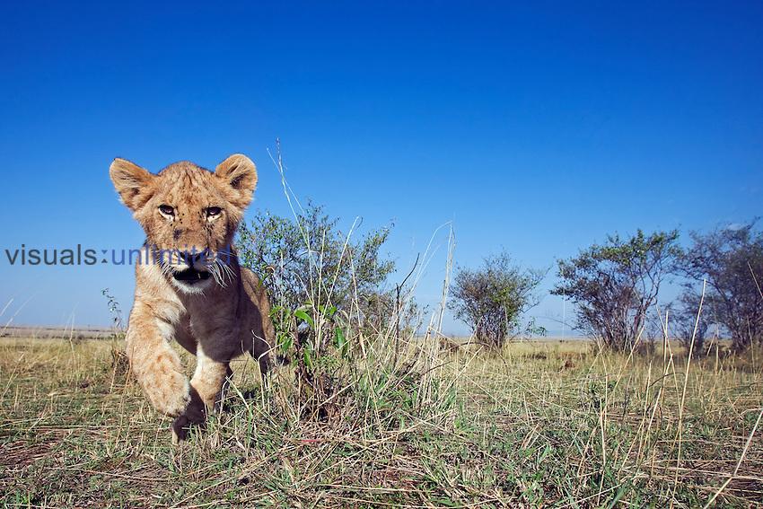 African Lion cub (Panthera leo), Masai Mara, Kenya.