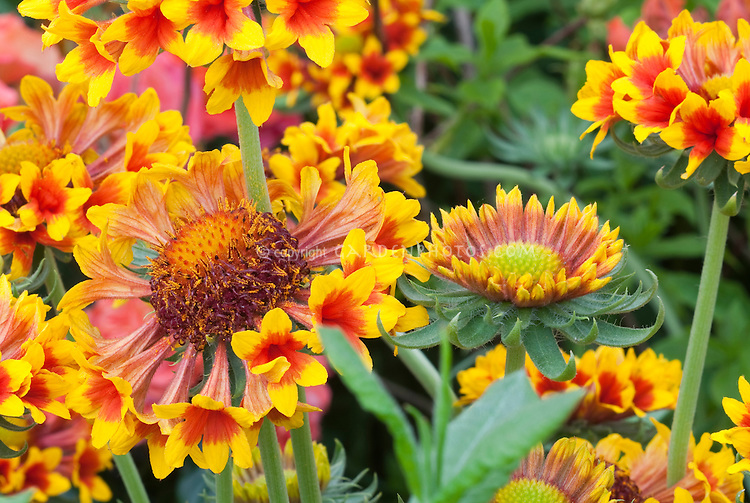 Gaillardia 'Galloway' similar to 'Fanfare' creates sense of excitement in the garden . Blanket Flower