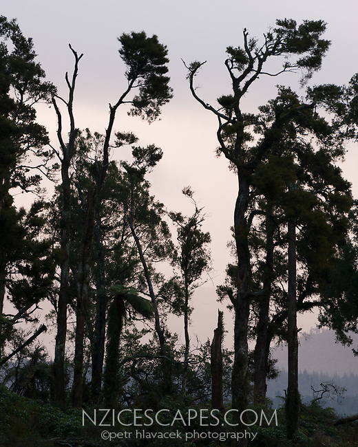 Totara, native trees in winter dusk, South Westland, West Coast, New Zealand, NZ