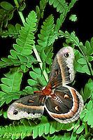 LE01-020x  Cecropia Moth - adult male - Hyalophora cecropia