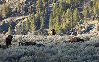 A lone wolf  with the Canyon Pack hunts for young bison in Yellowstone National Park.