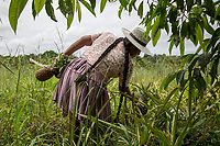 "A Quechua female coca grower known as ""cocalero"", harvests pineapples from the family crops, in Entre Rios, Chapare province, Bolivia. November 28, 2019.<br /> Une cultivatrice de coca quechua, connue sous le nom de ""cocalero"", récolte des ananas dans les cultures familiales, à Entre Rios, province du Chapare, Bolivie. 28 novembre 2019."
