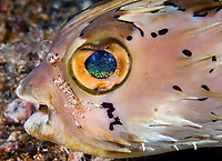 Ballonfish (Diodon holocanthus) being cleaned by a cleaner shrimp (Urocaridella sp.). Lembeh Strait, North Sulawesi, Indonesia. Pacific Ocean