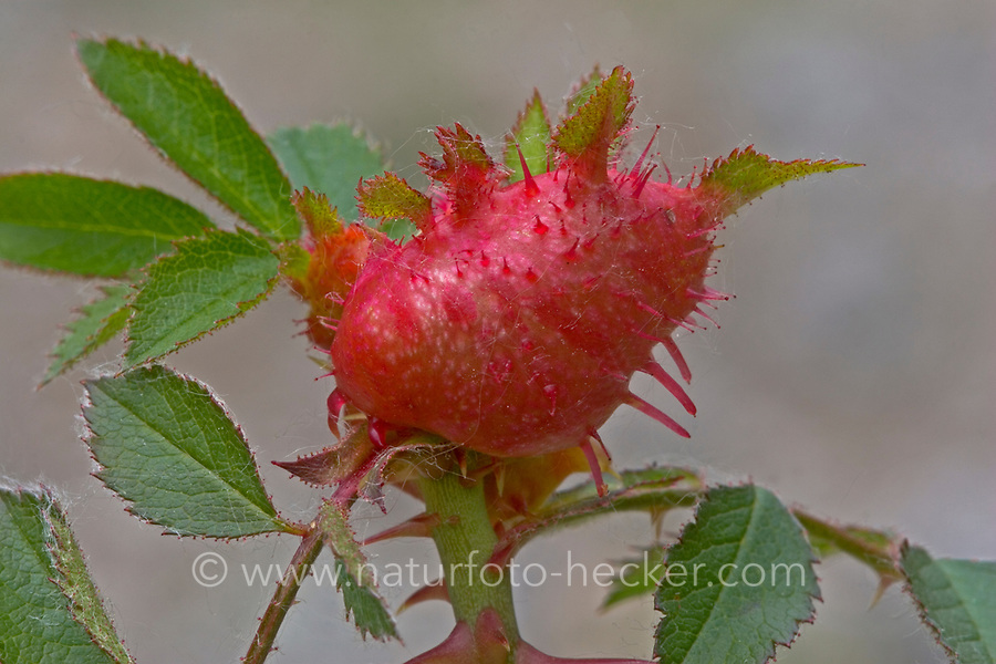 Gallwespe an Rose, Diplolepis mayri, gall wasp