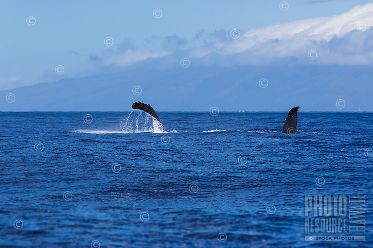 Humpback whales displaying their pectoral fins off the coast of Maui.