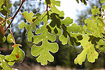 Oak tree leaves at Indian Grinding Rock State Historic Park