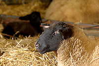 Close-up of pedigree Suffolk ewe indoors on straw....Copyright John Eveson 01995 61280.j.r.eveson@btinternet.com