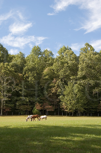Horses in sunny pasture by a treeline in rural North Carolina near Brevard, Dupont State Forest.