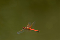 Cardinal Meadowhawk (Sympetrum illotum) male.  Pacific Northwest.