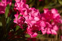 Crimson Nerium oleander flowers, Ios Island, Greece