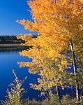 Upper Klamath Basin, OR:  Quaking Aspen (Populus tremuloides) in brillian fall color on the shore of Upper Klamath Lake, at Shoalwater Bay