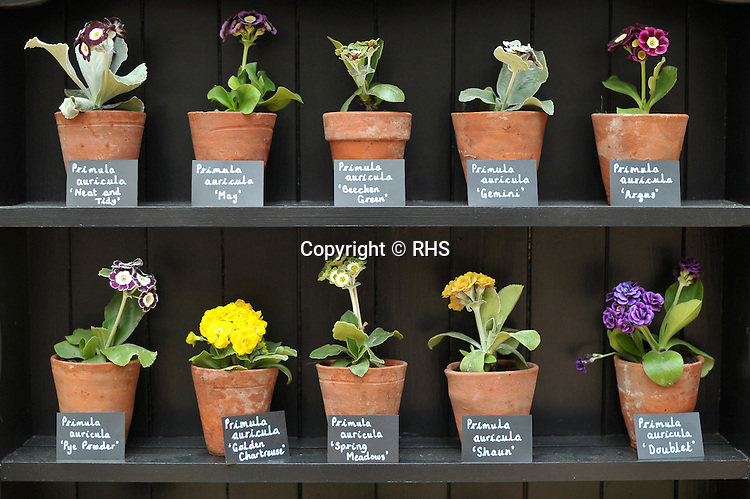 Primula auricula cabinet at an RHS Secret Garden Sunday.