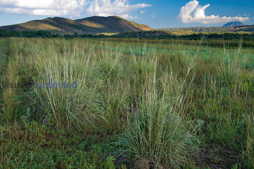 Healthy native Sacaton Grasses in a riparian area, Southern Arizona, USA