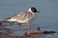 Bonaparte's Gull - Chroicocephalus philadelphia - Adult breeding