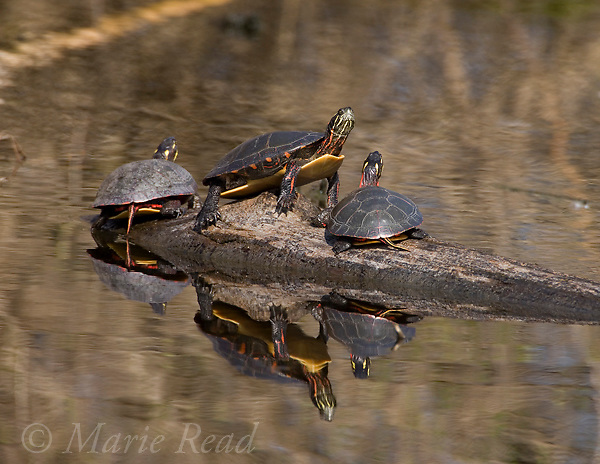 Eastern Painted Turtles (Chrysemis picta picta) basking on a partially submerged log, Montezuma National Wildlife Refuge, New York, USA