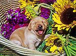 Labrador puppy in a flower basket.