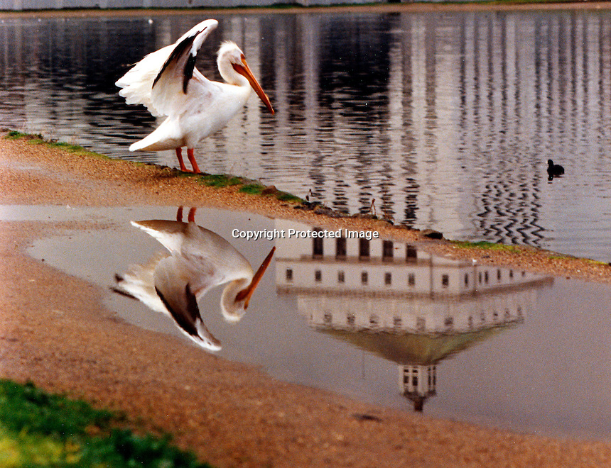 Pelican flaps his wings with the reflection of the  Alameda County Courthouse in the pool of water along the shore of Lake Merritt in downtown Oakland..(photo 1993 by Ron Riesterer)