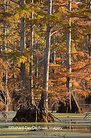 63895-14217 Baldcypress trees in fall, Horseshoe Lake State Fish and Wildlife Areas, Alexander Co., IL