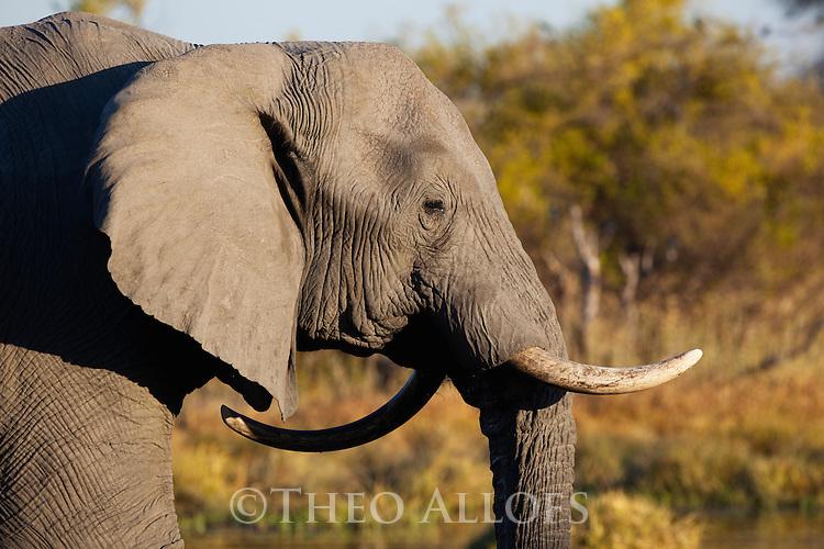 Botswana, Okavango Delta, Moremi Game Reserve, African elephant bull (Loxodonta africana) with one backward twisted tusk